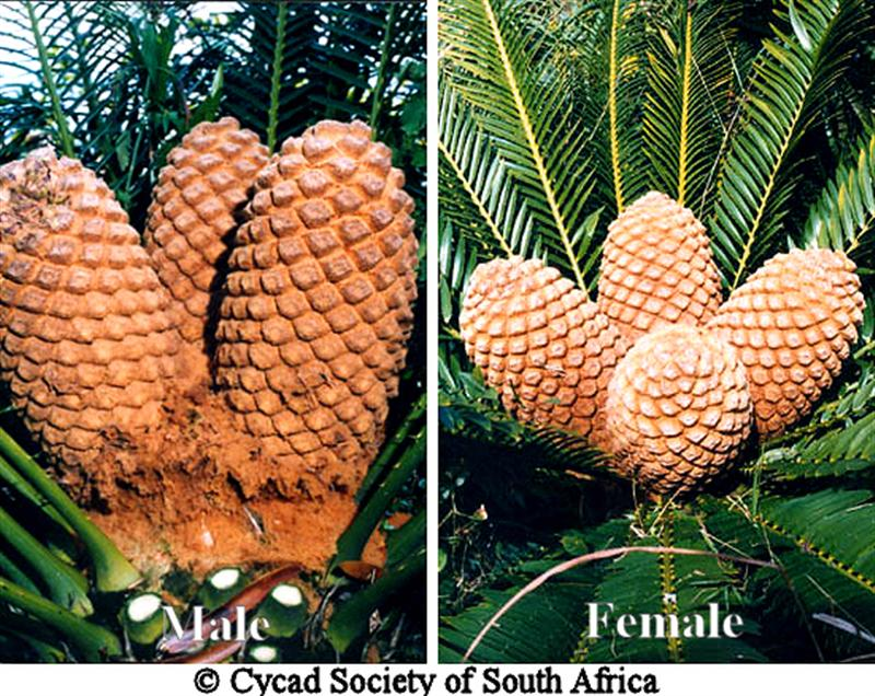 The Cycad Society, Inc. - Illustrated Glossary of Cycad Terms